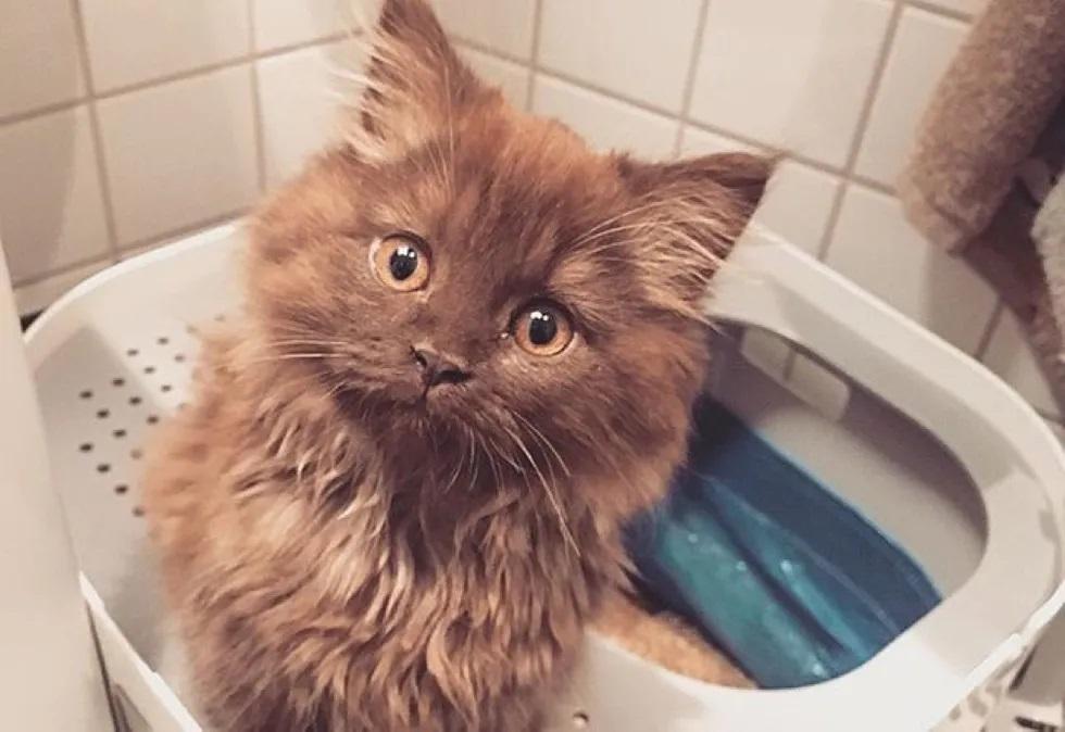 gatinho parecido com ursinho de pelúcia