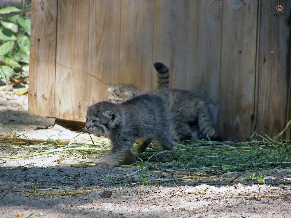 ninhadas de gatos raros