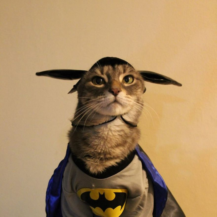 gato herói