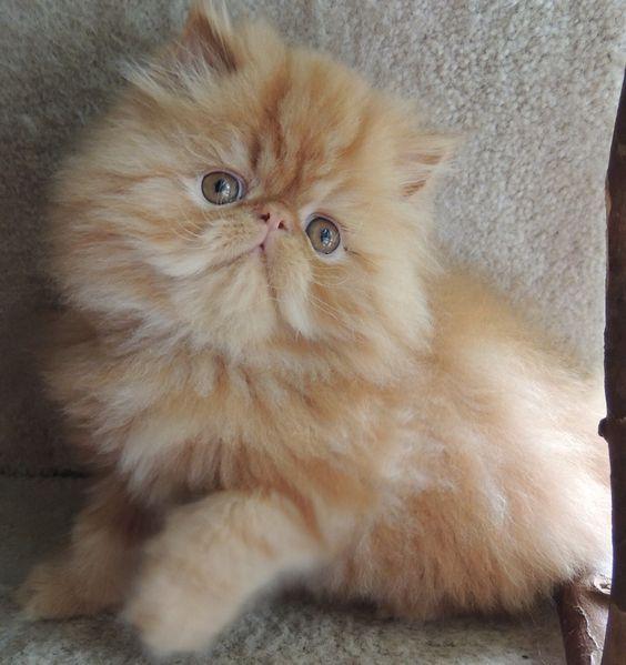 curiosidades sobre gatos persas