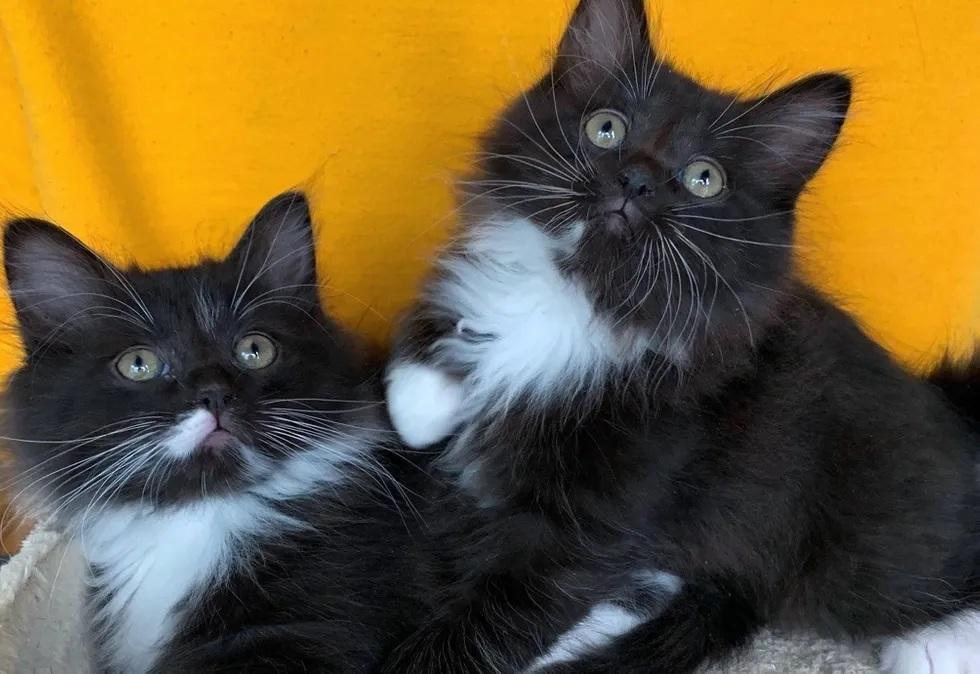 gatinhos gêmeos inseparáveis adoção