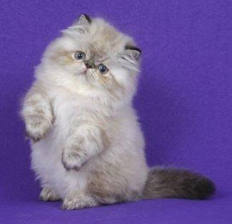 curiosidades sobre gato persa