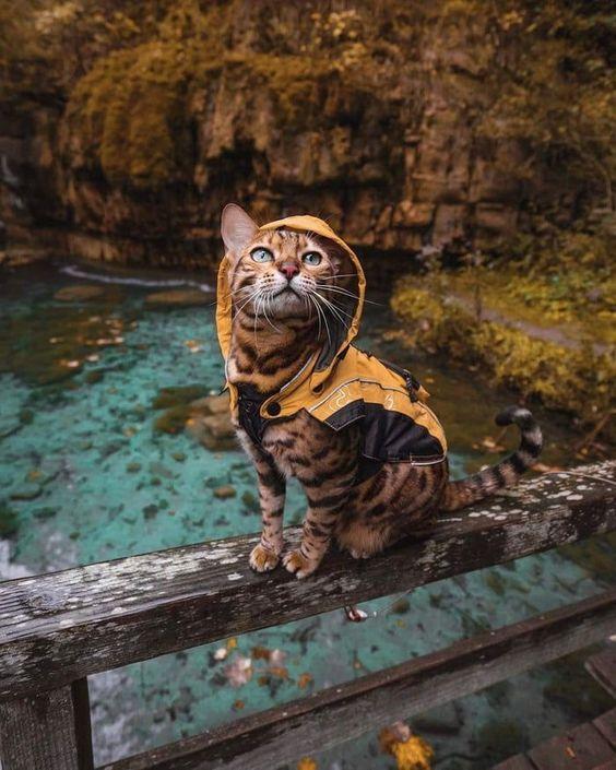 foto gato de bengala