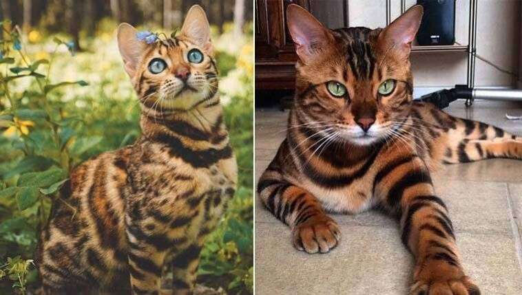 Fotos de gatobengal