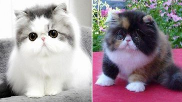 Fotos de gato persa filhote