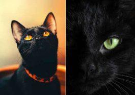 Fotos de gato preto lindos