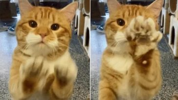 Gato acena para visitantes