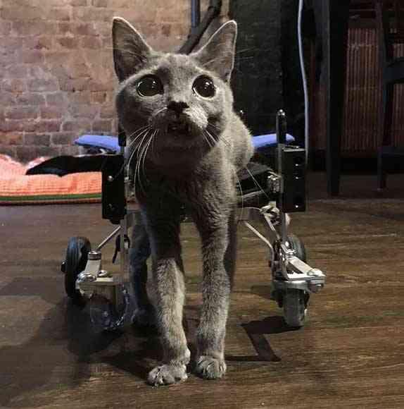 gatinho com deficiência