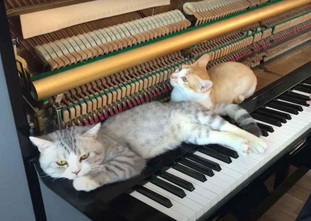 gatinhos no piano