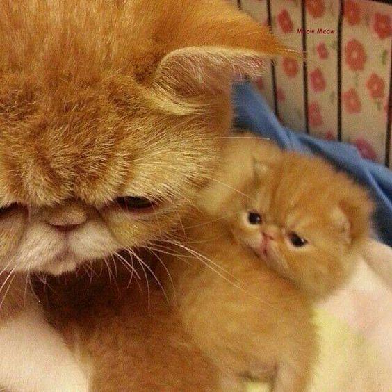 Fotos de gato persa filhote lindos ninhada