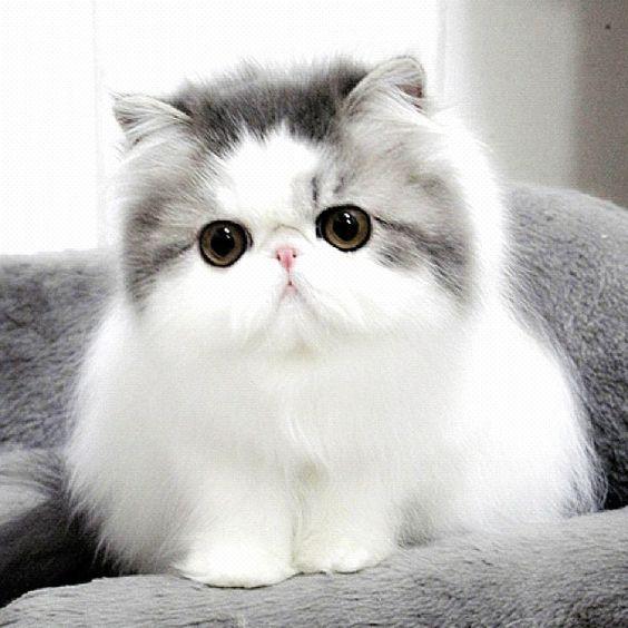 fotos de gatos persas