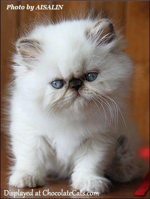 Fotos de gato persa filhote lindos fofos branco