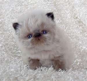 Fotos de gato persa filhote lindos