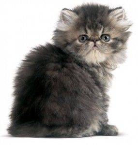 Fotos de gato persa filhote lindos fofos