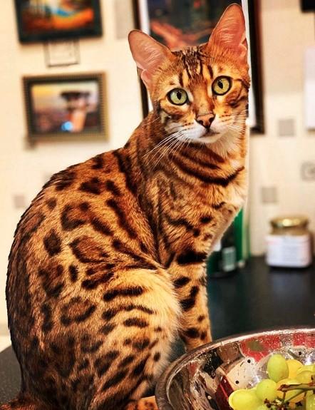 gatos bengal fotos