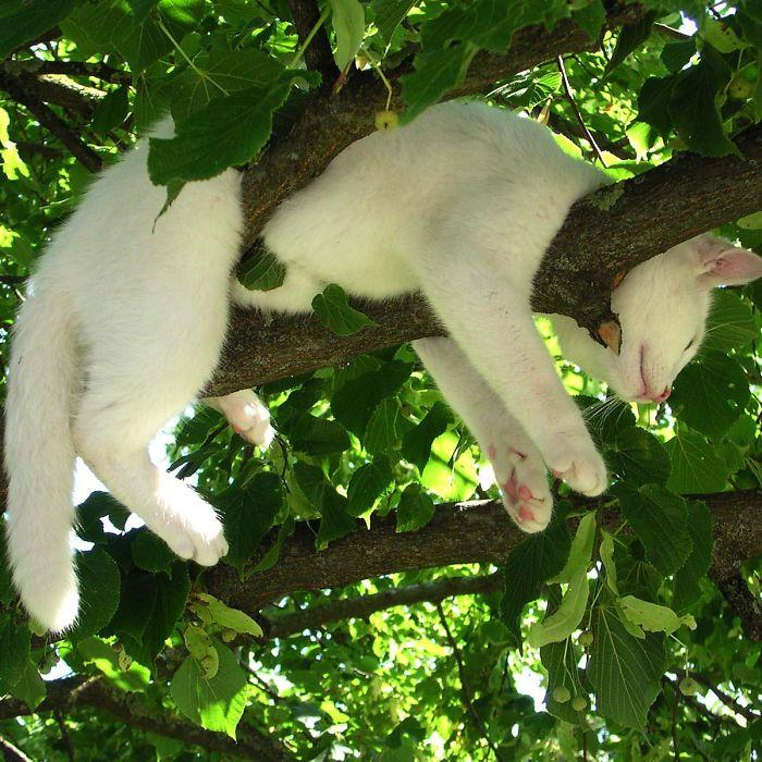 Gatos dormindo em árvores