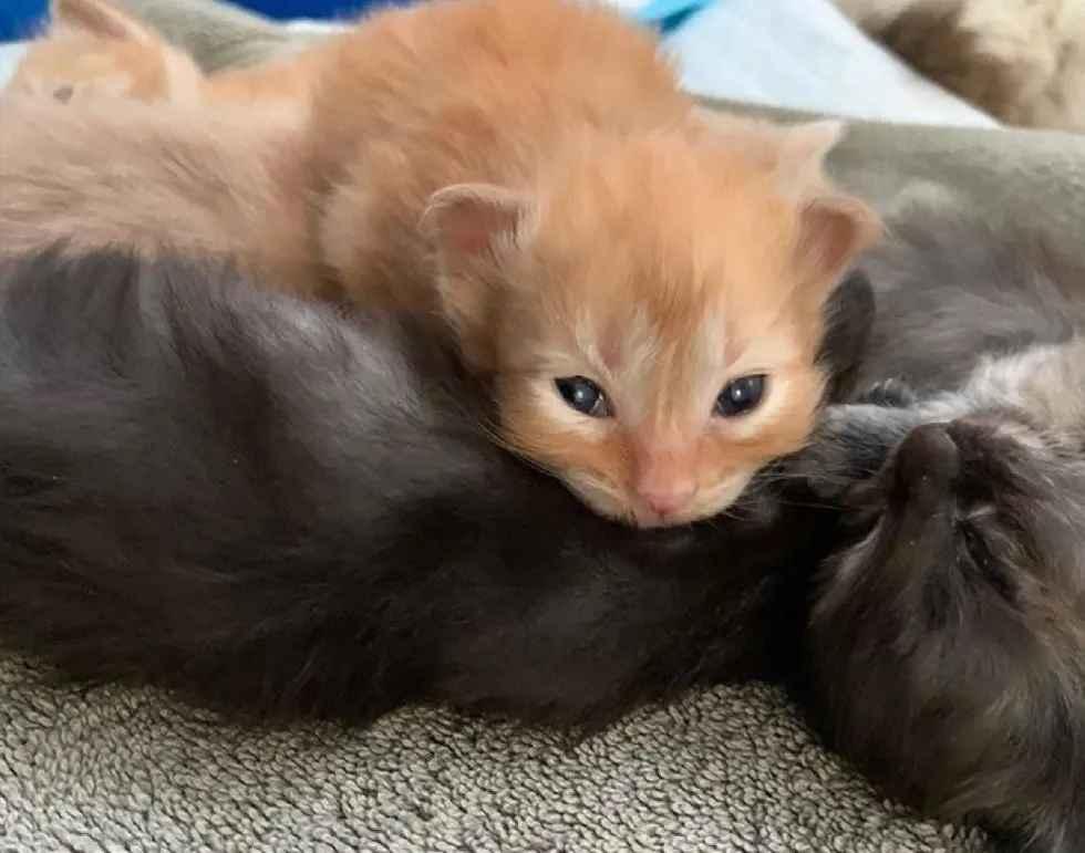 gatinho deficiente ganhou novo amigo