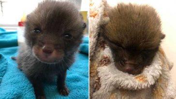 Abrigo-de-gatinhos-raposa