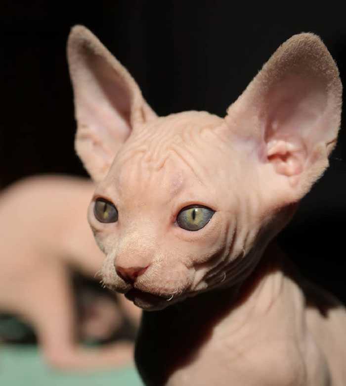 Filhotes de gato sphynx fotos