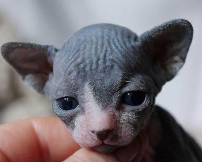 Filhotes de gato sphynx origem
