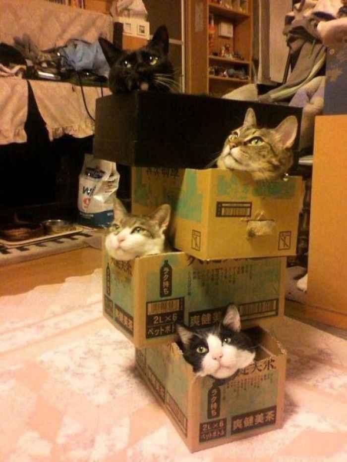 Fortes de papelão gatos como fazer