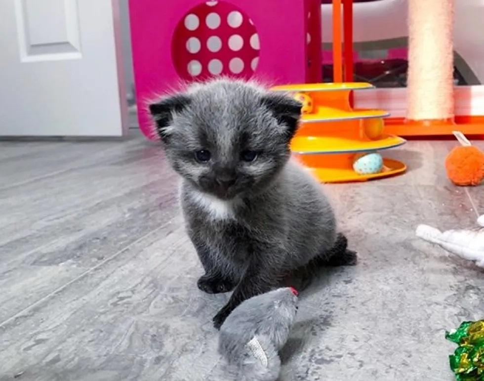 Gatinha prateada resgate de gatos