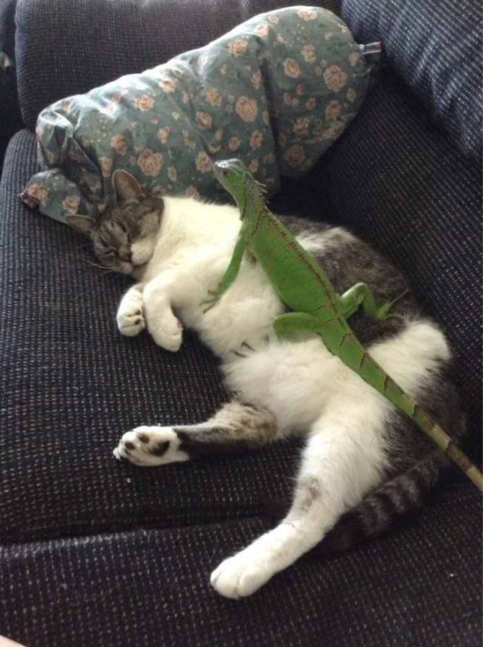 Gatos e lagartos fotos