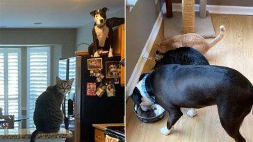 Pit-bull-adotado-foi-para-uma-casa-cheia-de-gatos