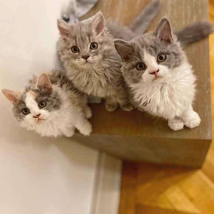 curiosidades gatos ovelhas