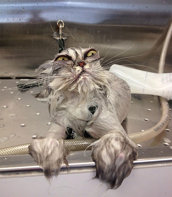 gato molhado engraçado