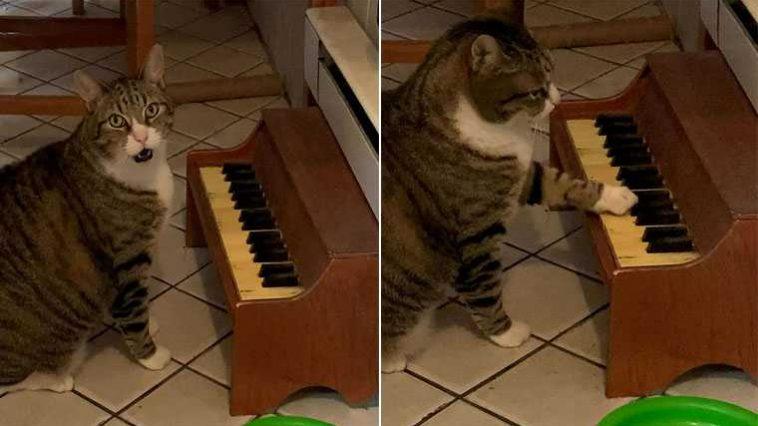 gatinho músico toca piano
