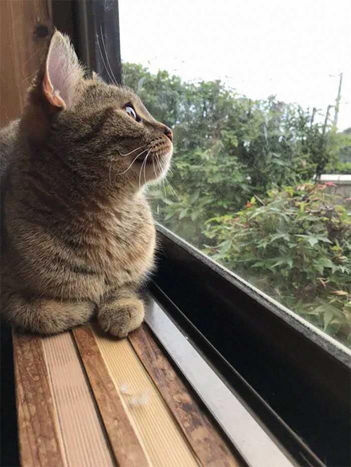 gato adotar