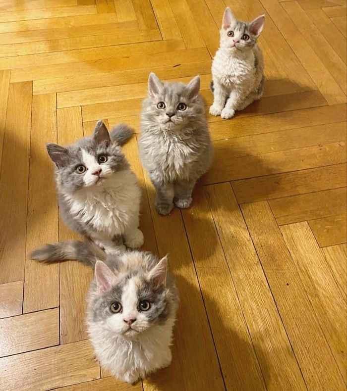 raças de gatos mais lindas