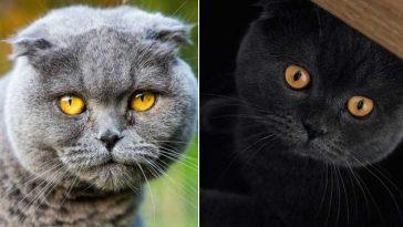 raça de gatos scottish fold