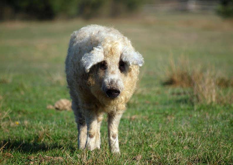 Porcos fofos que parecem ovelhas peludos