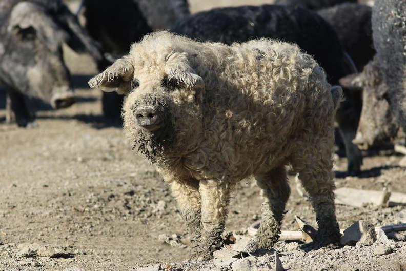 Porcos fofos que parecem ovelhas