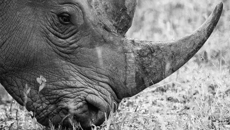 chifre de rinoceronte curiosidades
