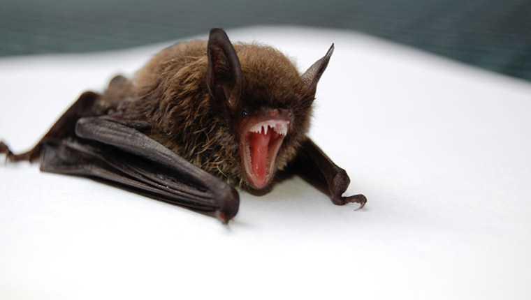 curiosidades incríveis sobre animais morcegos esquerda
