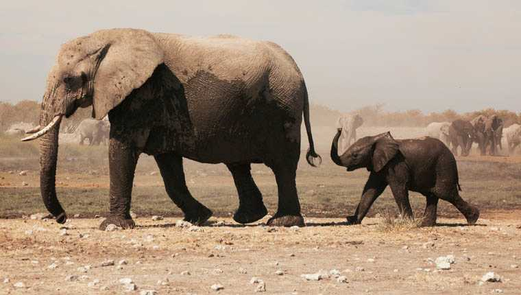 curiosidades incríveis sobre animais elefantes não conseguem pular