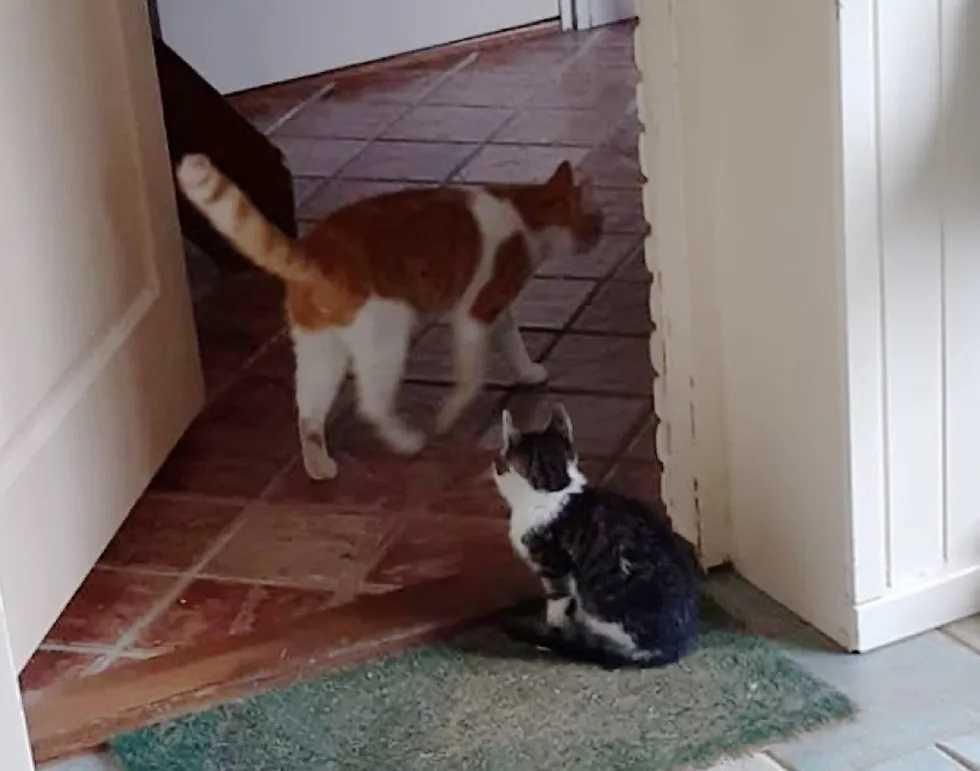 gato adotado por outro gato
