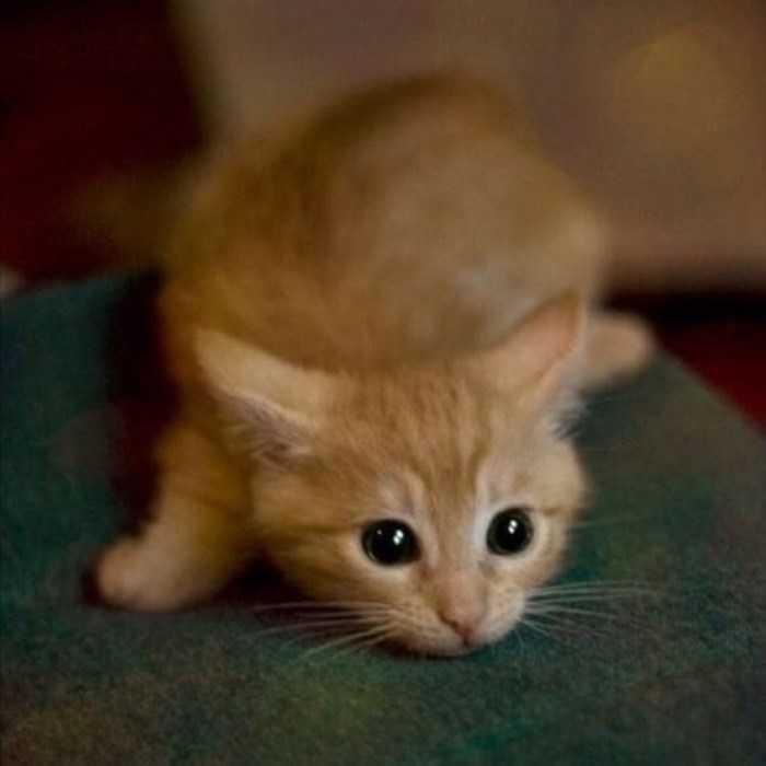 gato ataque