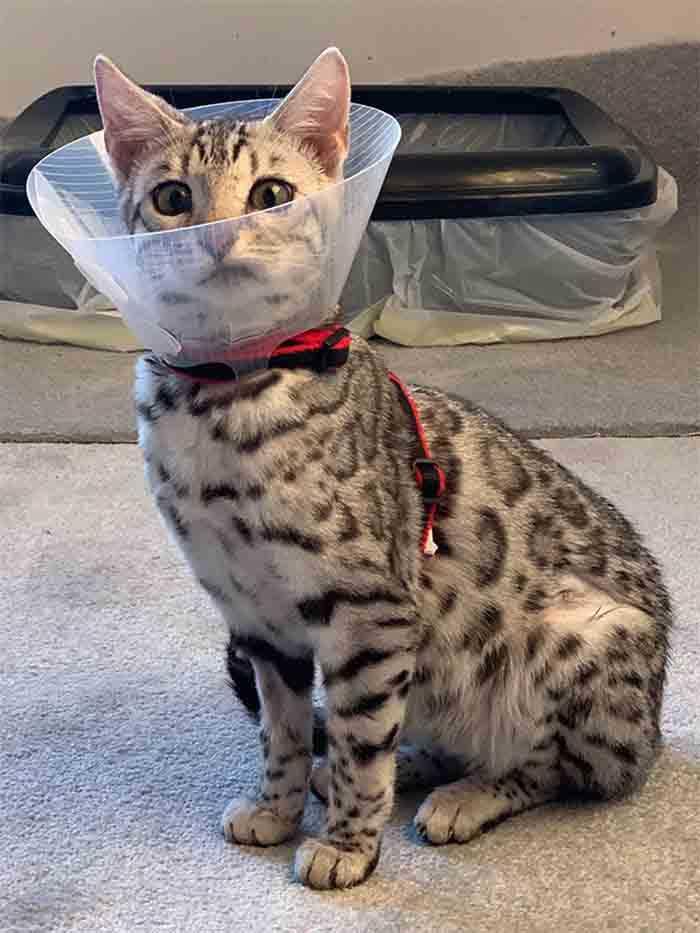 gato chateado