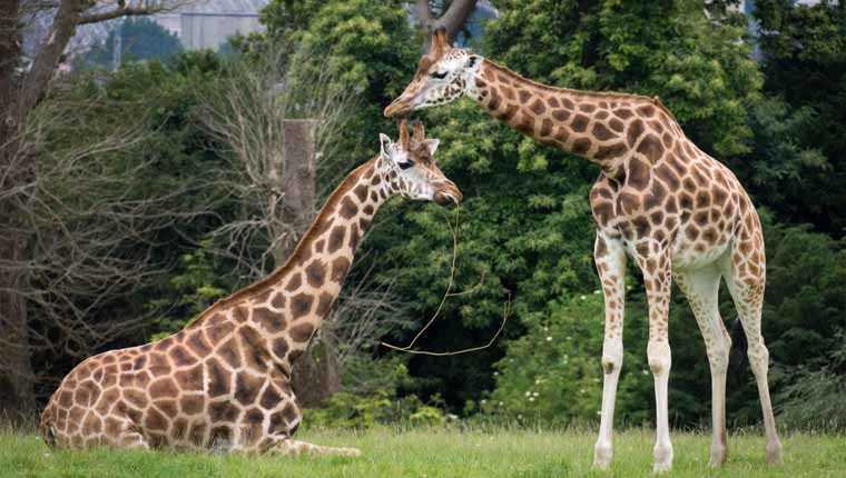 girafas cordas vocais