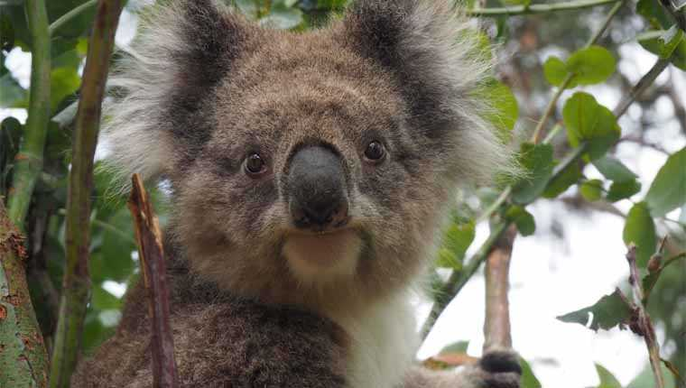 impressão digital coala
