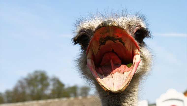 olhos de avestruz cérebro curiosidades incríveis sobre animais