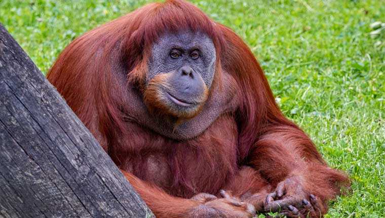 orangotangos ossos quebrados