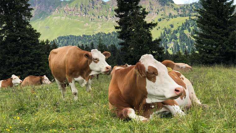 quantos litros de leite uma vaca pode dar