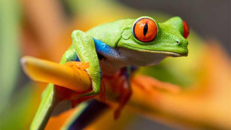 rãs não vomitam curiosidades incríveis sobre animais