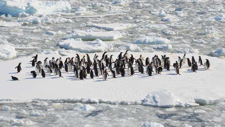 urina de pinguim geleiras curiosidades incríveis sobre animais