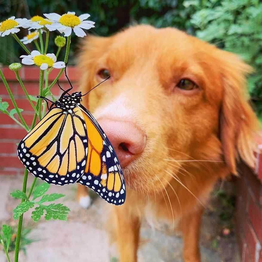 Cachorro retriever apaixonado por borboletas fotos